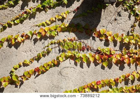 details of the wall with ivy