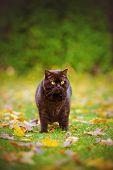 foto of portrait british shorthair cat  - chocolate british shorthair cat walking outdoors in autumn - JPG