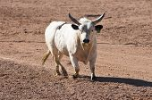 picture of brahma-bull  - a bull without a rider is loose in a rodeo arena - JPG