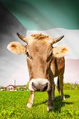 image of kuwait  - Cow with flag on background series  - JPG