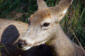 picture of mule deer  - Closeup of female mule deer Odocoileus hemionus resting in the long grass - JPG