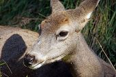 stock photo of mule deer  - Closeup of female mule deer Odocoileus hemionus resting in the long grass - JPG
