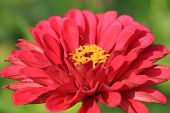 image of zinnias  - Zinnia flower - JPG