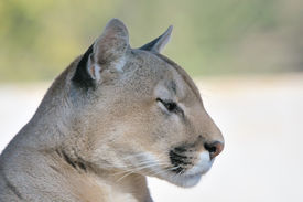 stock photo of cougar  - Mountain lion puma or cougar the second - JPG