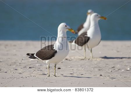Black Backed Gulls Sit And Wait On Sand Bank