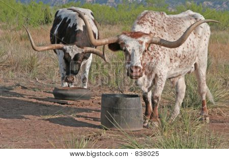 Two Longhorns