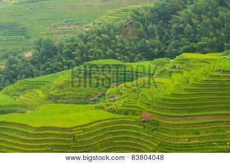 Rice terrace fields