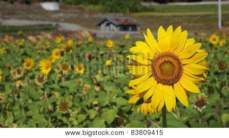 Sunflower Field With Sunny Summer Sky
