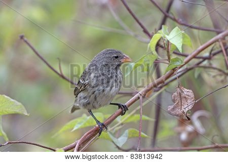 Female Galapagos Ground Finch