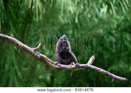 Crested Black Macaque (macaca Nigra)