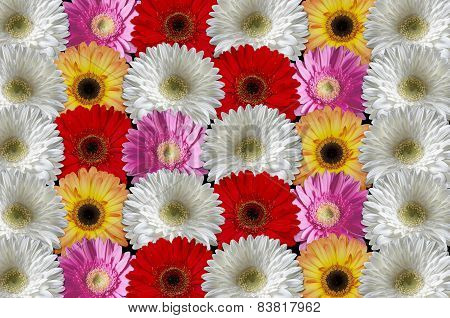 Multicolored gerber daisies consistently lying to each other