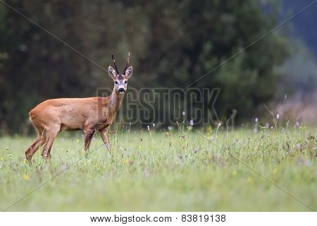 Buck deer in the wild