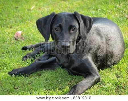 labrador retriever puppy, South Bohemia, Czech Republic