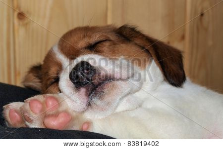 brown and white crossbreed puppy, South Bohemia, Czech Republic