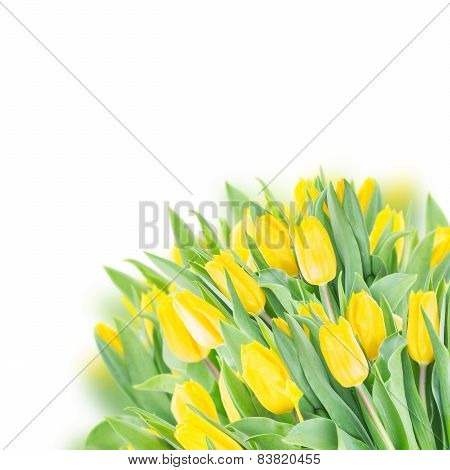spring tulips on white