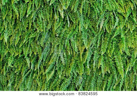 Green Fern As A Background