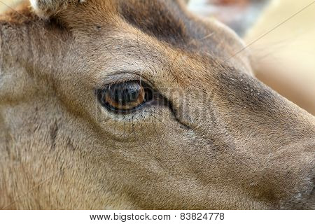 Detail On Fallow Deer Buck Eye