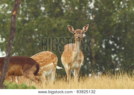 Fallow Deer Hind Looking At Camera