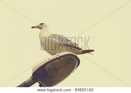 Herring Gull With Vintage Effect