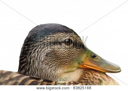Isolated Portrait Of A Female Mallard
