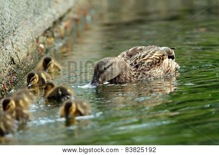 Mallard Duck Family On The Water, Female With Ducklings ( Anas Platyrhynchos )