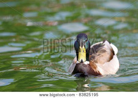 Mallard Male On Lake Surface