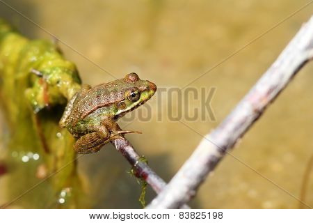 Marsh Frog On A Twig