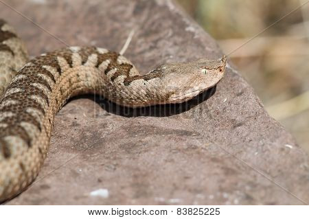 Nose Horned Viper Large Female