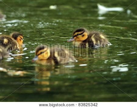 Young Ducklings On Water