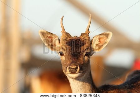 Young Fallow Deer Stag Close Up