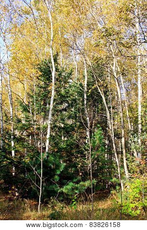 Birches And Fur-trees