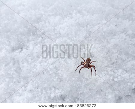 Small Spider On Frosty Surface
