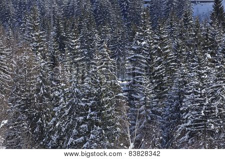 Ticino, Switzerland - Winter Landscape With Conifers