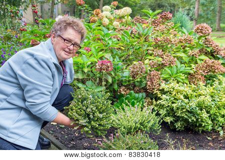 Elderly woman planting heather plant in garden