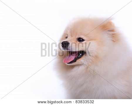 White Pomeranian Puppy Dog, Cute Pet