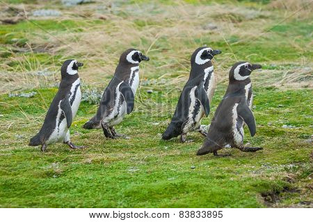Four Penguins Walking On Field