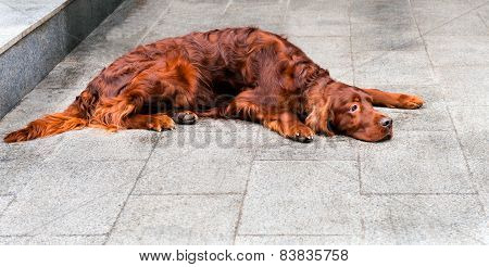 Irish Setter prostrate.