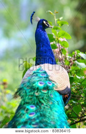 Rear View Of Blue Peacock In Nature