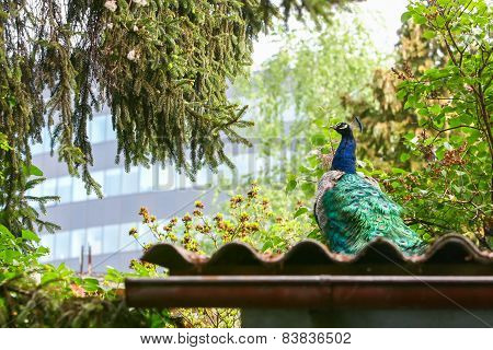 Rear View Of Blue Peacock On Roof