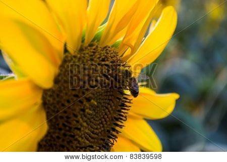 bee on a beautiful sunflower