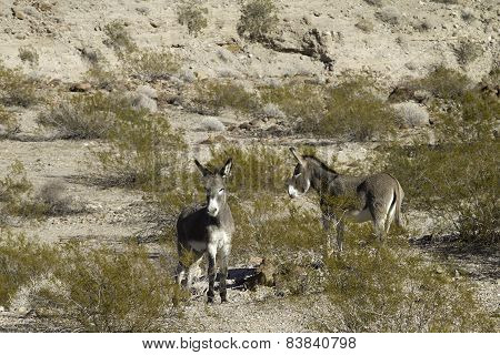 Burros in the desert