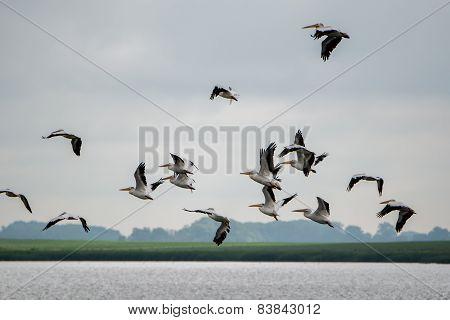Brown Pelican Group