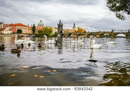 Swans And Ducks Near Charles Bridge In Prague