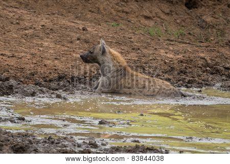 Chilling Hyena