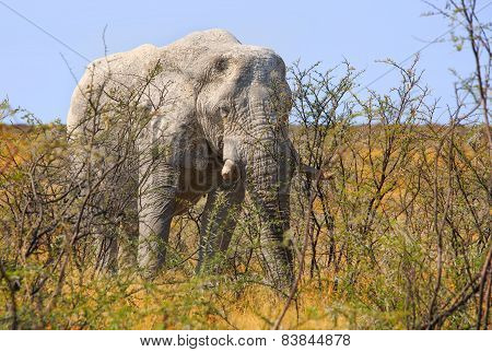 Isolated Bull Elephant