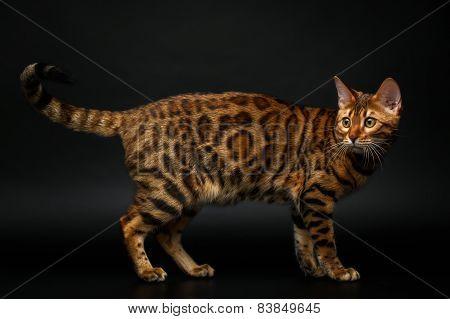bengal cat turned on black