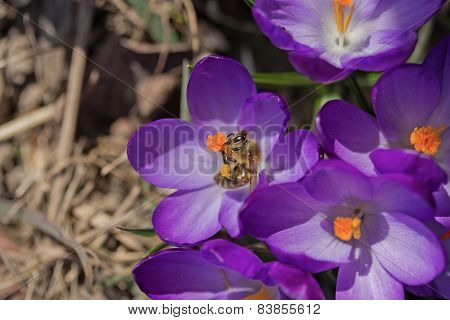 The  Bees Is Pollinating The Flower Of Saffron