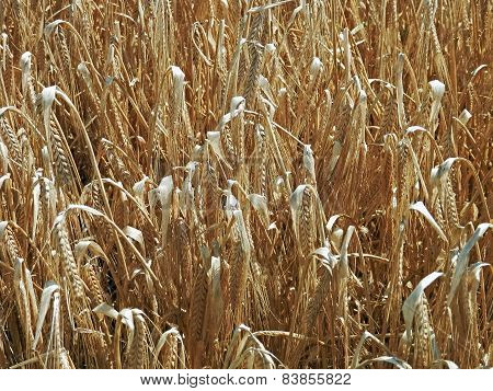Field And Grain In Summer