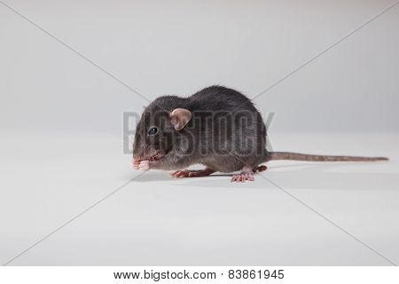Brown  Domestic Rat