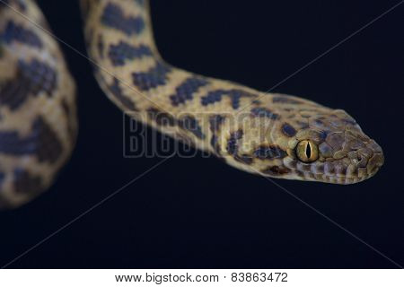 Spotted python (Antaresia maculosa)